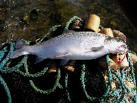 Tagged sea trout