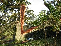 Storm damaged oak