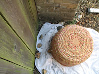 Collecting bees in a skep