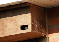 Commonswift at nestbox