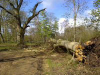 Uprooted beech