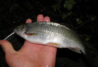 A good sized dace