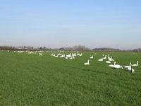 Swans grazing a new sward