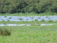 Summer Black-tailed Godwits