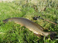 Lure caught pike