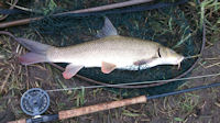 Fly caught barbel