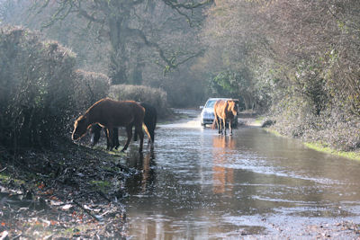 Forest ponies in the flood