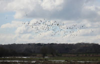 Wildfowl over the marsh