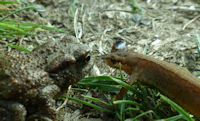 Common toad and Smooth newt