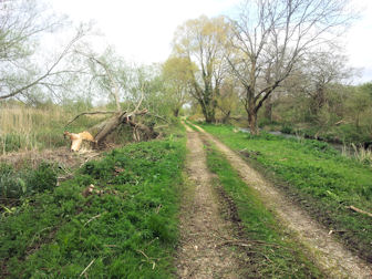 Felled willow