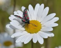 Five spotted burnet