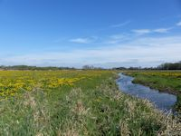 Kingcups on the marsh