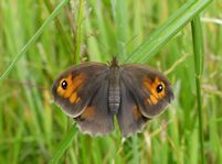 Newly emerged Meadow Brown