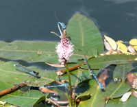 Common Blue and Red-eyed Damsel flies