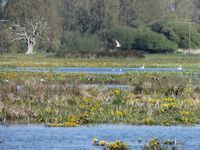 Kingcups and Gadwall