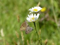 Coupled Meadow Brown