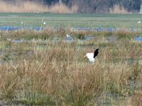 Crow and Great White Egret